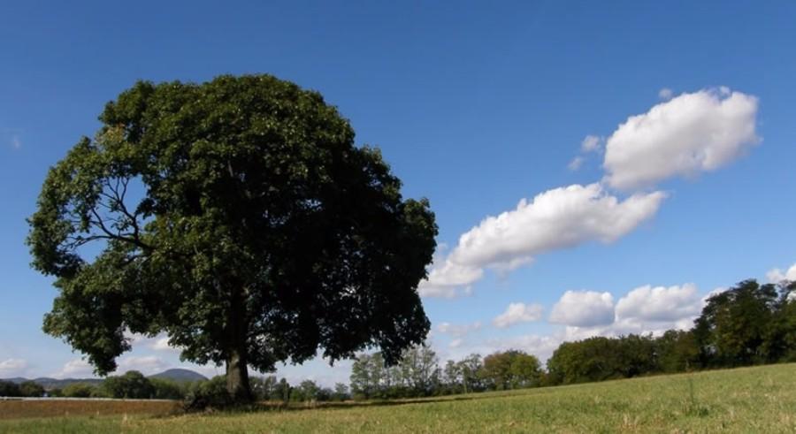 Beladice strom